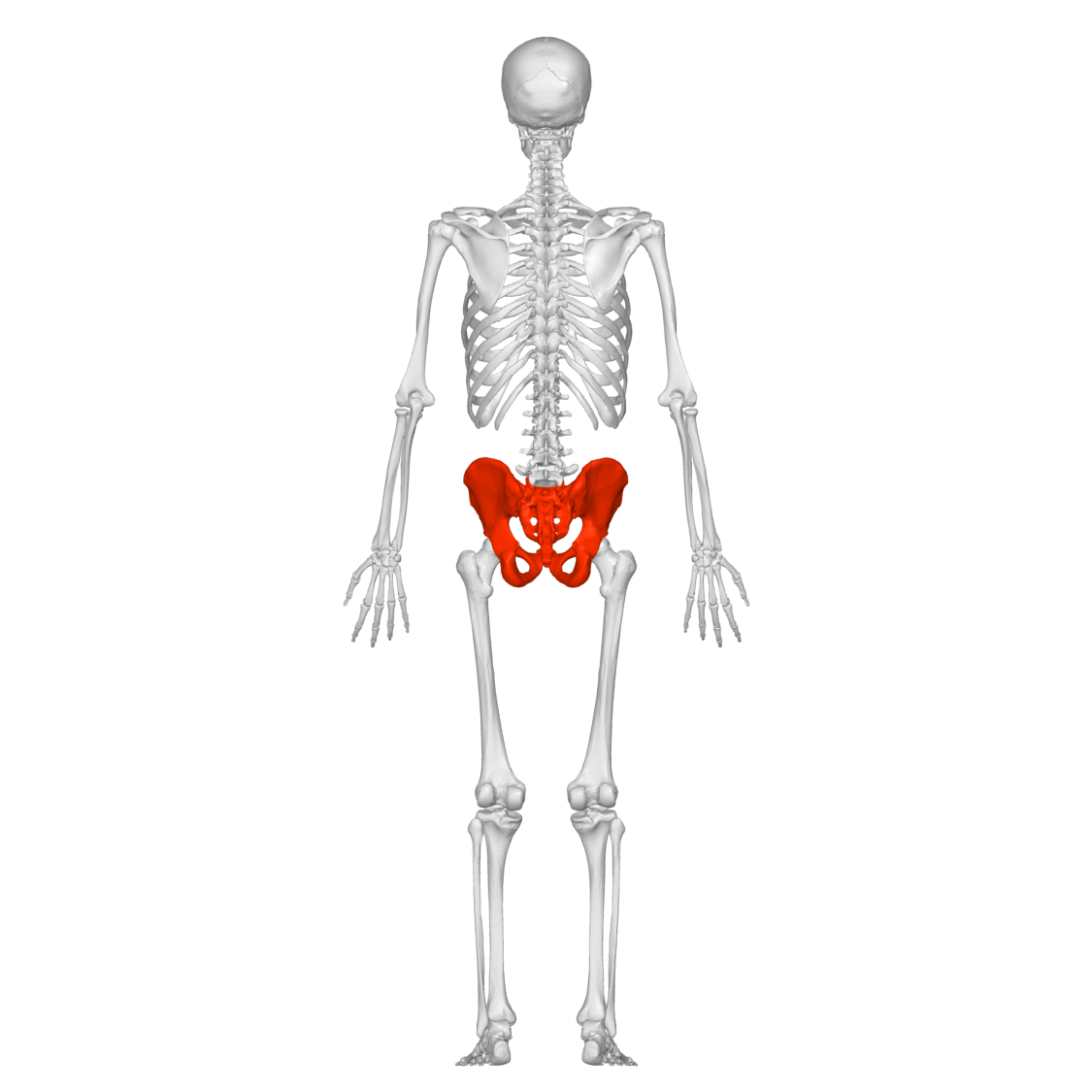 pelvis_male_00_-_posterior_view